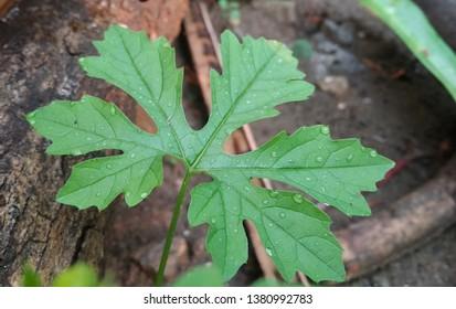 fresh embroidery leaf karela leaf