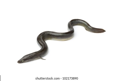 Fresh  European eel on white background