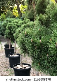 Fresh evergreen pines in black pots are lined up in a row