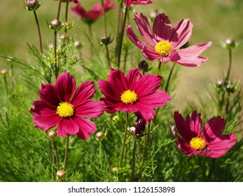 Fresh and faded Cosmos flowers in a garden