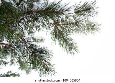 Fresh fallen snow hugs the branches of a Colorado blue Spruce in the garden, copy space