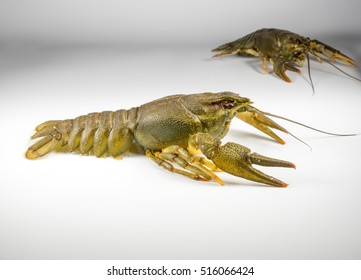 Fresh fat crayfish on a light background closeup