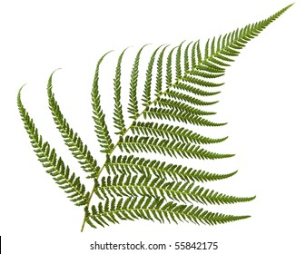 Fresh fern frond, isolated over white.