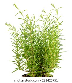 Fresh fines herbes, rosemary is isolated on white background