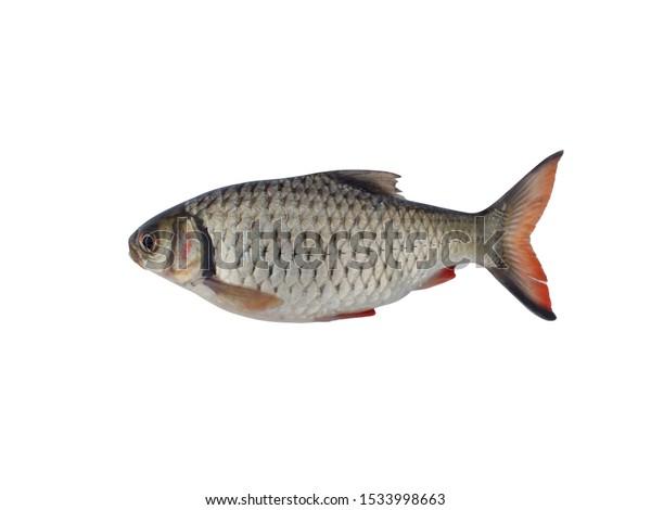 Fresh Fish Hardlipped Barb Lipped Barb Animals Wildlife Stock Image 1533998663