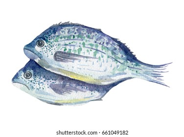 fresh fish illustration. Hand drawn watercolor on white background.