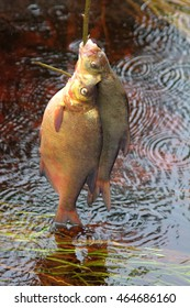 Fresh fish and old ways of its preservation 4. Bream, carpbream (Abramis brama). Caught fish put on wooden  fish string and placed in running water, wavering seaweed