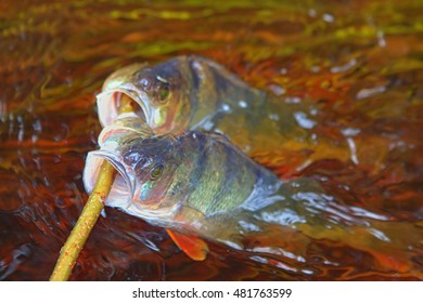 Fresh fish and old ways of its preservation 8.  River perch (Perca fluviatilis). Caught fish put on wooden  fish string and placed in running water, wavering seaweed