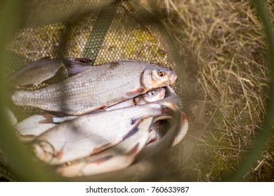 Fresh fish Vimba closeup in the fishing net, just cached in the river. Vimba (called also the vimba bream, zanthe, or zarte) is a European fish species in the Cyprinidae family. Fishing concept.