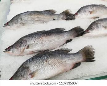 fresh fishes Giant Perch, barramundi, silver perch, white perch, white snapper or sea basses on cool ice