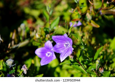 Fresh floral background with Platycodon grandiflorus  'Astra Blue' balloon flowers blooming in the botanical garden. Green foliage on background. Macro floral photograrhy.