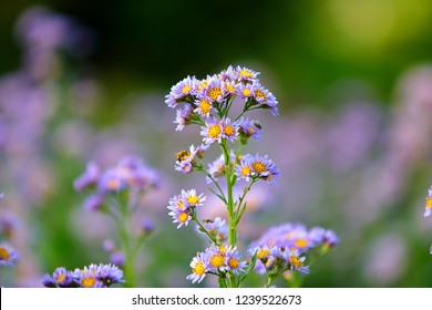 Fresh floral background with  tatarian aster (Aster tataricus 'Jindai') lilac tiny flowers blooming in the field and bees on the buds, Macro floral photography.