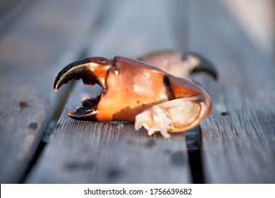 Fresh Florida Stone Crab Claw on a dock