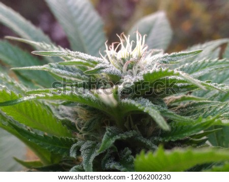 Fresh Flower Bloom White Widow Strain Stock Photo Edit Now