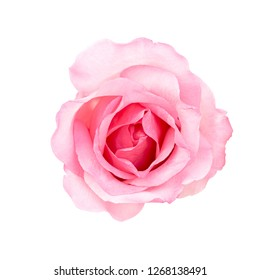Fresh flower pink roses isolated on white background. love and Valentine's Day.