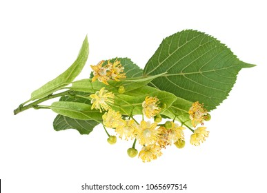 Fresh flowers and leaves of linden isolated on white background
