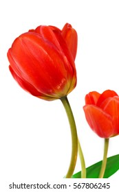 Fresh flowers, two red tulips isolated on white background