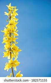 fresh flowers yellow forsythia blooming on springtime