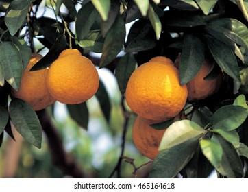 Fresh fruit in the field