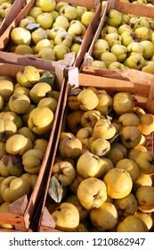 Fresh fruit quince from garden, autumn harvest