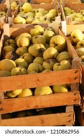 Fresh fruit, quince from garden, autumn harvest