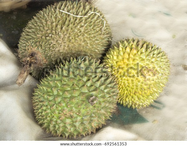 Fresh fruits for healthy food. A photo of king of fruits, group of Durian ( Durio zibthinus Murray. ) is very fresh sweet fruits.