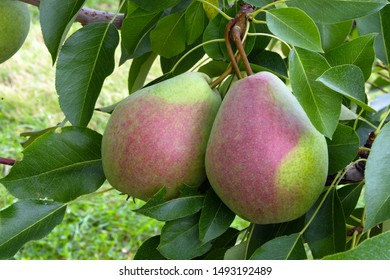 fresh fruits in tree pears organic agriculture summer harvest