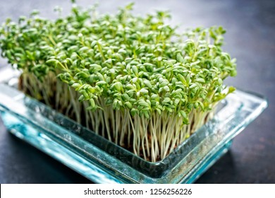 Fresh garden cress germ bud as closeup on a black board with copy space