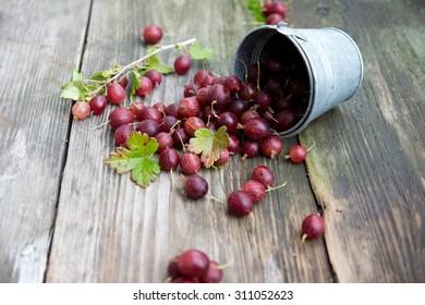 fresh garden gooseberries