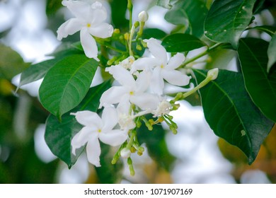 Fresh Gardenia flower (Gardenia jasminoides) on tree in sunlight with blurred nature bokeh background and copy space. Beautiful nature scene.Selective focus.
