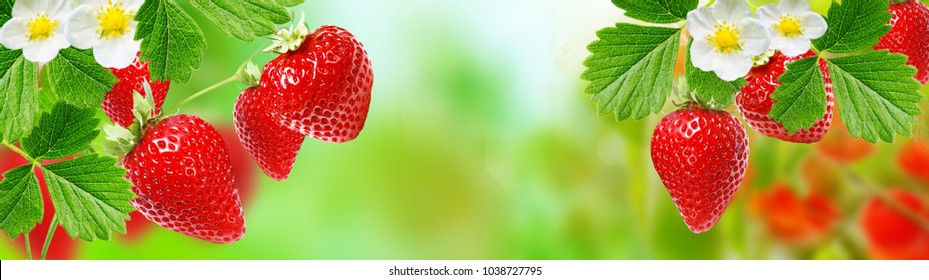 fresh gardening strawberry