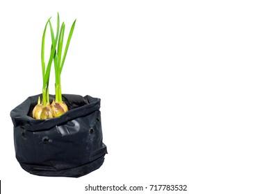 fresh garlic plant in black plastic bag  , isolated on white background.