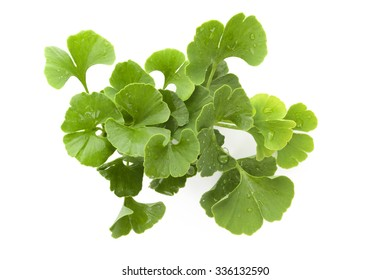 Fresh ginkgo biloba bunch with dew isolated on white background. Alternative medicine herb, memory enhancement.