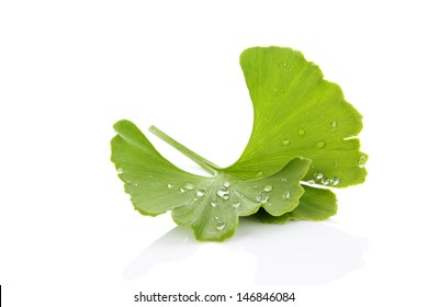 Fresh ginkgo biloba leaf with dew drops isolated on white background with reflection. Healthy living. Natural alternative medicine.