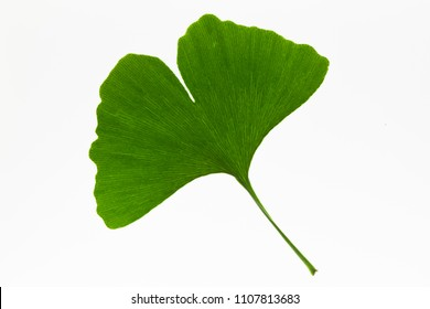Fresh ginkgo biloba leaf on a light box background