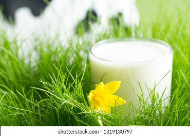 Fresh glass of milk in the spring green grass on the meadow with defocused cow on background