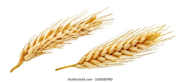 Fresh golden wheat ear isolated. Wheat ears composition close up, focus stacking, white background. Agriculture farming cereals harvest, healthy food, bread, beer package design clip art elements
