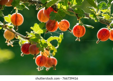 Fresh gooseberries on a branch of gooseberry bush with sunlight. Gooseberry in the fruit garden.