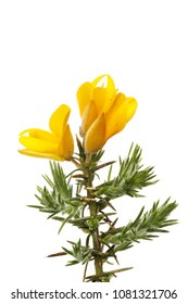 Fresh gorse flowers and green spring foliage isolated against white