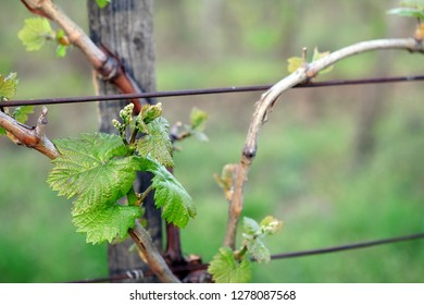 fresh grape buds and leaves