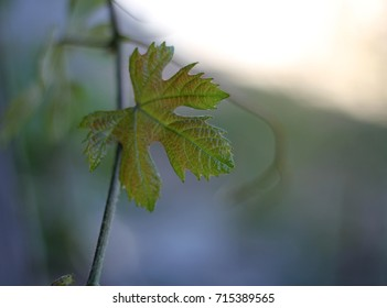 fresh grape leaf