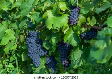 fresh grapes fruits on plant