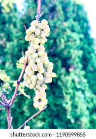 Fresh grapes on green background