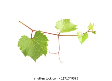 Fresh grapevine with leaves isolated on white