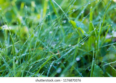 fresh grass background after the rain