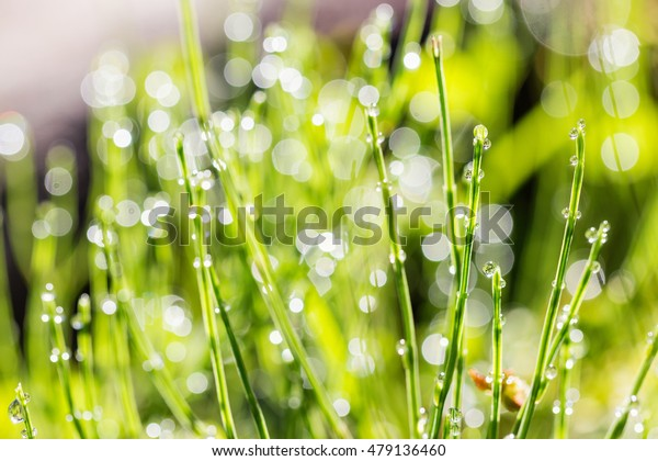Fresh grass with dew drops on blurred bokeh background. Shallow focus
