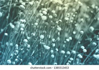 Fresh grass flower in the garden in dark blue and soft yellow tone