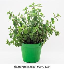 Fresh grass of oregano  that grow in vase, white background
