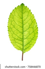 Fresh green apple leaf isolated on white background with clipping path