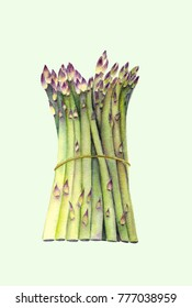 Fresh green asparagus. Isolated object on light green background. Watercolor botanical illustration. Organic Food. Vegetarian Ingredient. Realistic style. Hand painted poster or print.